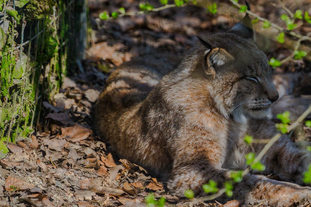 (©) Christoph Spies - Hochwildschutzpark