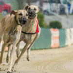 Windhund-Rennen in Hünstetten