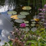 Seerose im Teich